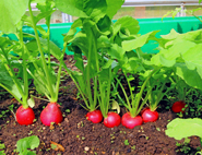 growing-radishes-185