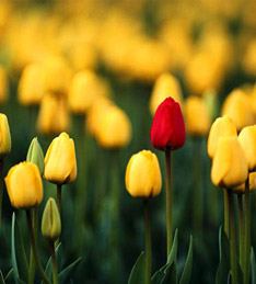 A red tulip in a field of yellow tulips