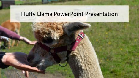 Fluffy Alpaca PowerPoint Presentation