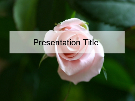 Delicate Pink Rose PowerPoint Template