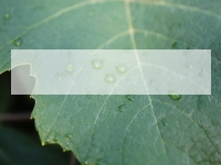 Water Drops on a Vine Leaf PowerPoint Template