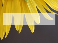 Yellow Petal PowerPoint Template thumbnail